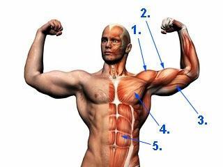 - (Krafttraining, Muskeln, Bizeps)