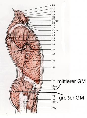 Besäßmuskeln von der Seite (nach Tittel) - (Muskeln, Po, Krafttrainning)