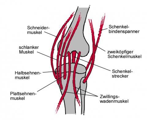 Schematische Darstellung der wichtigsten über das Knie ziehenden Muskeln (rechtes Knie von hinten) - (Fussball, Verletzung, Kreuzbandriss)