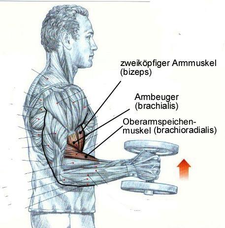 Wie trainiere ich den Oberarmspeichenmuskel (brachio radialis ...