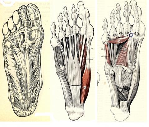 Wie heißt das Band/Muskel unter dem Fuß? (Muskeln, Füße)