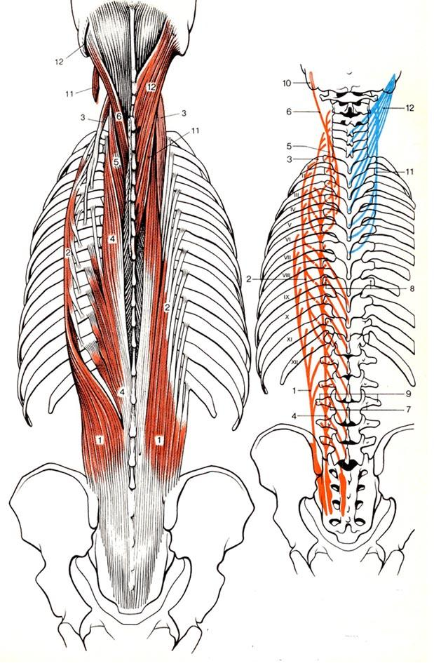 Erfreut Bild Der Rückenmuskulatur Ideen - Anatomie Ideen - finotti.info