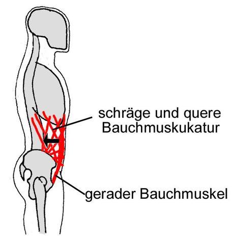Muskeln der Bauchwand - (Muskelaufbau, Muskeln, Muskeltraining)