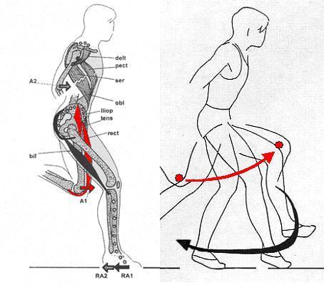 Bild 1: sprintspezifische  Muskeln - (Krafttraining, Leichtathletik, Sprint)