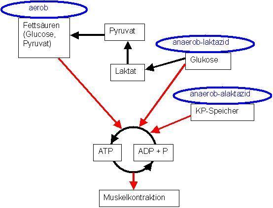 Energiegewinnung anaerob und aerob (Stoffwechsel)