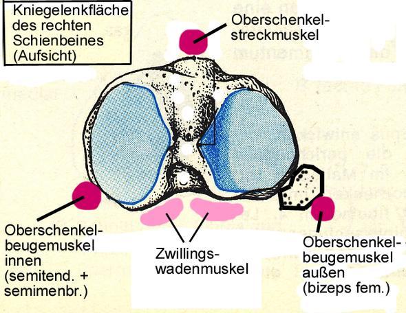 Knie stabilisierende Muskeln - (Operation, Kreuzbandanriss)