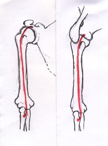 Bizepssehnen, langer Kopf - (Muskelaufbau, Muskeln, Schmerzen)