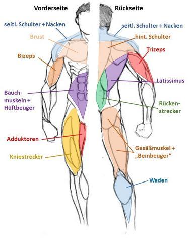 funktionelle Muskelgruppen (verändert nach internet) - (Fitness, Trainingsplan)