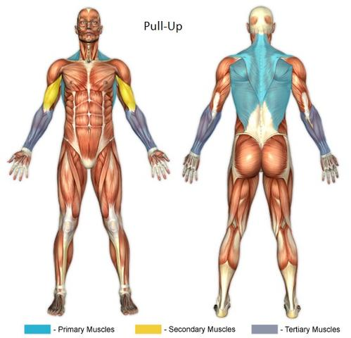 Pull-Up - muscles involved - (Muskeln, Arbeit, Gruppe)