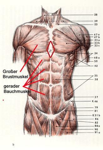 Wie heißt dieser Muskel?