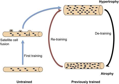 muscle memory - (Training, Muskeln, Pilates)