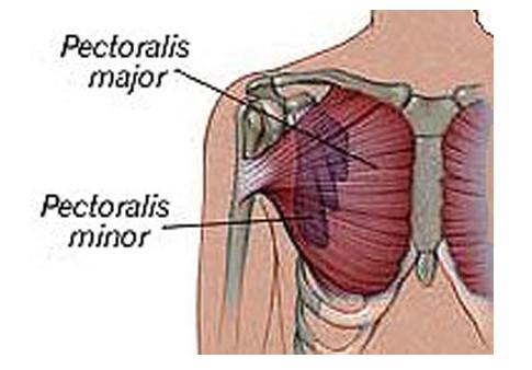 - (Muskelaufbau, Brustmuskeln)